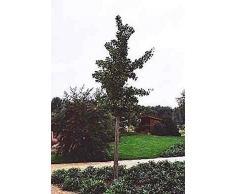 Ginkgo biloba Princeton Sentry - Fächerblattbaum - Ginko - Heilpflanze - Freundschaftsbaum