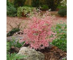 Qulista Samenhaus - Rarität Fächerahorn Mix Gelbgrün/leuchtend rot/Rosa   20pcs Bonsai Baum Saatgut winterhart mehrjährig in Steingärten, an Teichen und in japanischen Gärten