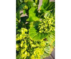 Bauernhortensie Schneeball 20-30 cm Strauch für Sonne-Halbschatten Zierstrauch weiß blühend Terrassenpflanze winterhart 1 Pflanze im Topf