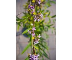 Hänge-Sommerflieder 60-100 cm Busch für Sonne-Halbschatten Zierstrauch lila-violett blühend Terrassenpflanze winterhart 1 Pflanze im Topf