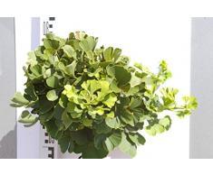 Ginkgo biloba Mariken - Fächerblattbaum Mariken