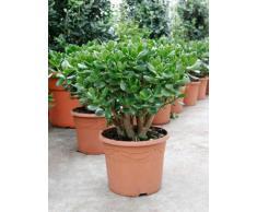 Geldbaum, ca. 50 cm, Balkonpflanze wenig Wasser, Terrassenpflanze sonnig, Kübelpflanze Südbalkon, Crassula ovata, im Topf