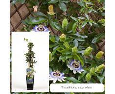 Inter Flower- Blaue Passionsblume `Passiflora caerula` Garten -und Balkonpflanze