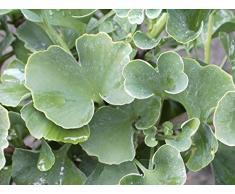 Ginkgo biloba Globus - Fächerblattbaum Globus - Götterbaum - Urzeit Ginko - Heilpflanze
