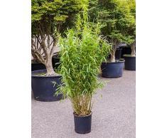 Bambus China Rohrgras, ca. 90 cm, Balkonpflanze winterhart-mehrjährig, Terrassenpflanze halbschattig-schattig, Kübelpflanze Westbalkon-Ostbalkon, Fargesia murielae jumbo, im Topf