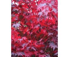 Roter Fächerahorn im Container 40 - 60 cm