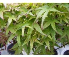 Fächerahorn Kotohime - Acer palmatum Kotohime - Japanischer Ahorn