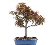 Bonsai - Acer palmatum Shaina, roter Fächerahorn 197/14