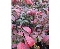 Korkflügelstrauch Chicago Fire 40-60 cm Strauch für Sonne-Halbschatten Zierstrauch grünes Laub Terrassenpflanze winterhart 1 Pflanze im Topf
