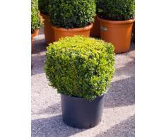 Buchsbaum, ca. 60 cm, Balkonpflanze ganzjährig-immergrün, Terrassenpflanze sonnig-halbschattig-schattig, Kübelpflanze Südbalkon-Westbalkon-Ostbalkon-Nordbalkon, Buxus sempervirens, im Topf
