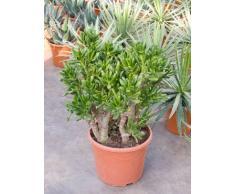 Geldbaum, ca. 60 cm, Balkonpflanze wenig Wasser, Terrassenpflanze sonnig, Kübelpflanze Südbalkon, Crassula gollum, im Topf