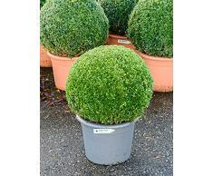 Buchsbaum, ca. 75 cm, Balkonpflanze ganzjährig-immergrün, Terrassenpflanze sonnig-halbschattig-schattig, Kübelpflanze Südbalkon-Westbalkon-Ostbalkon-Nordbalkon, Buxus sempervirens, im Topf
