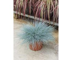 Bärenfellgras, ca. 55 cm, Balkonpflanze wenig Wasser, Terrassenpflanze sonnig, Kübelpflanze Südbalkon, Festuca glauca intense blue, im Topf