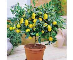 50 Kerne Bonsai Mini Zitronenbaum Bäumchen Zimmerpflanze Balkonpflanze