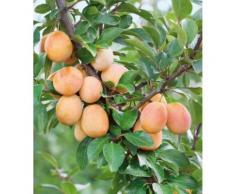 Obstbaum »Mirabellen-Aprikose Miracose®«
