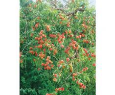 Obstbaum »Pfirsich«