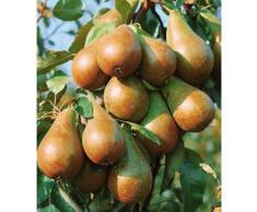 Obstbaum »Birne Köstliche von Charneux«, 150 cm