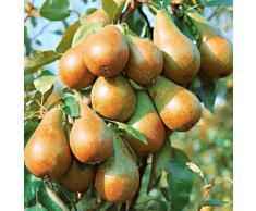 DUO-Obstbaum »Birne«