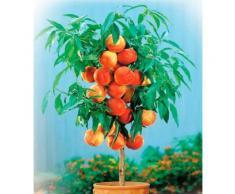 Zwergobstbaum »Pfirsich«