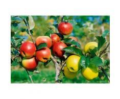 Zwergobstbaum »Apfel Croquella«