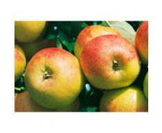 Obstbaum »Apfel Cox orange«, 150 cm