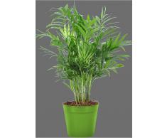Zimmerpflanzen versand gr npflanzen zimmerpflanzen kaufen - Pfeffer zimmerpflanze ...
