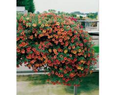 Beet & Balkonpflanze »Zauberglöckchen«