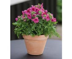 Beet & Balkonpflanze »Bauernorchidee«, lila