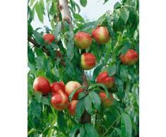 Obstbaum »Zwergnektarine Nectarella«