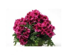 Beet & Balkonpflanze »Bauernorchidee«, rot