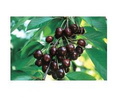 Obstbaum »Süßkirsche Giorgia«