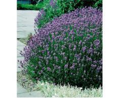 Beet & Balkonpflanze »Lavendel«