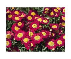 Beet & Balkonpflanze »Magerite rot-rosa«, inkl. Übertopf