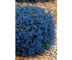 Beet & Balkonpflanze »Lobelia«, blau (4 Pfl.)