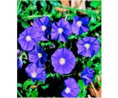 Beet & Balkonpflanze »Blaue Mauritius«