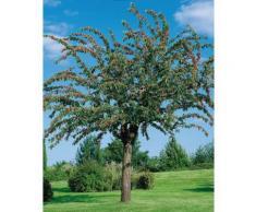 BCM Apfelbaum Cox orange, 150 cm Lieferhöhe grün Pflanzen Garten Balkon