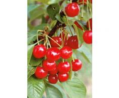 BCM Obstbaum Zwerg-Süßkirsche rot Obst Pflanzen Garten Balkon