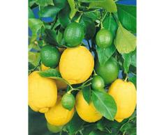 BCM Obstbaum Zitronen-Stämmchen grün Obst Pflanzen Garten Balkon