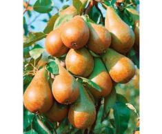 BCM Obstbaum Birne U-Form weiß Obst Pflanzen Garten Balkon