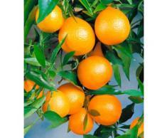 BCM Obstbaum Zitrusbaum Clementinen-Stämmchen weiß Obst Pflanzen Garten Balkon