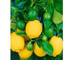 BCM Obstbaum Zitrone, 40 cm Lieferhöhe weiß Obst Pflanzen Garten Balkon