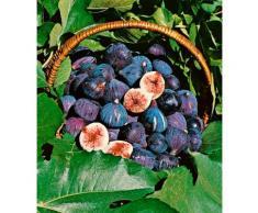 BCM Obstpflanze Feigenbaum, blau Obst Pflanzen Garten Balkon