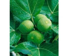 BCM Obstpflanze Feigenbaum, grün Obst Pflanzen Garten Balkon