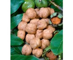 BCM Obstbaum Walnuss grün Obst Pflanzen Garten Balkon
