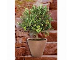 BCM Obstbaum Olivenbaum, Ministamm grün Obst Pflanzen Garten Balkon