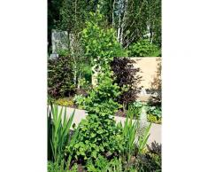BCM Gehölze Fächerblattbaum Troll grün Ziergehölze Pflanzen Garten Balkon