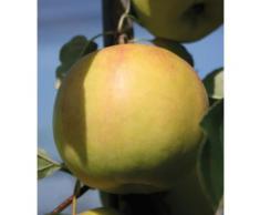 BCM Obstbaum Apfel Bella Bionda Patrizia, 150 cm Lieferhöhe gelb Obst Pflanzen Garten Balkon
