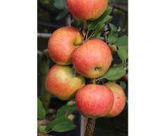 BCM Obstbaum Apfelbaum Elstar, 150 cm Lieferhöhe grün Obst Pflanzen Garten Balkon