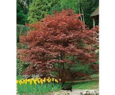 BCM Gehölze Roter Fächerahorn Atropurpureum rot Ziergehölze Pflanzen Garten Balkon