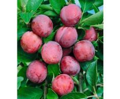 BCM Pflaumenbaum Viktoria rosa Pflanzen Garten Balkon